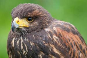 roofvogel foto