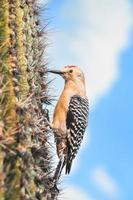 gila specht op saguaro cactusbloem foto