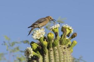 pollenatoren op saguaro cactus foto