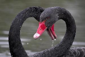 twee zwarte zwanen foto