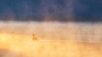zwarte zwaan in steek ung foto