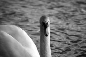 witte zwaan naar voren gericht z / w foto