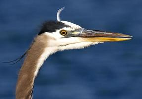 grote blauwe reiger close-up