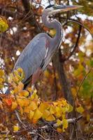 blauwe reiger op boom met herfstkleuren foto