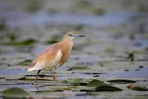 squacco heron, ardeola ralloides foto