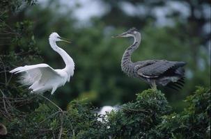 vogels-grote zilverreiger en blauwe reiger foto