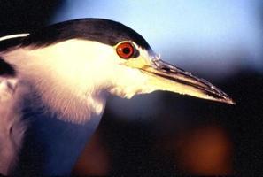 close-up van zwarte gekroonde nachtreiger