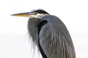 grote blauwe reiger vogel close-up van het hoofd foto
