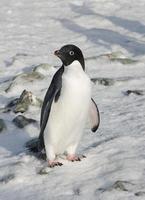 Adelie-pinguïn die zich in de sneeuw tussen de rotsen bevindt. foto