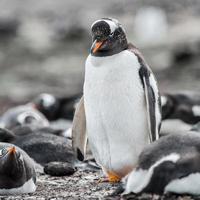 pinguïns op Antarctica foto