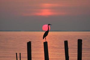reiger bij zonsopgang foto