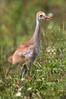 Canadese kraanvogel baby foto