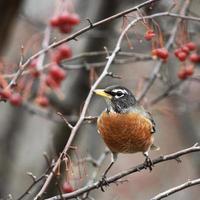 Robin (turdus migratorius) in een crabapple-boom foto