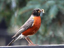 Robin voeden foto