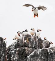 papegaaiduiker die op rotsen landt foto