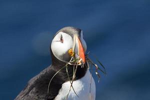 atlantische papegaaiduiker, (fratercula arctica) foto