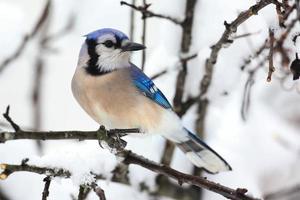 blauwe gaai in de sneeuw foto