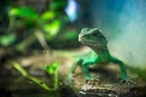 groene hagedis foto