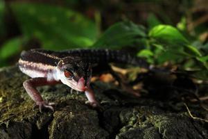 de gekko van de wilde kuroiwa foto