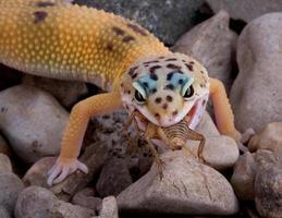 luipaardgekko die krekel eet foto