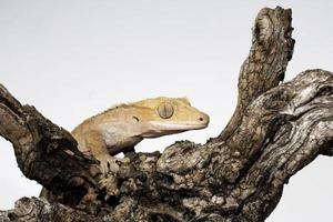 crested gecko op de tak foto