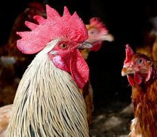 problemen in het kippenhok - eigenwijze haan en bruine kippen. foto