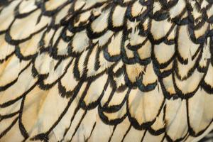 macro van de veer van een sebright kriel haan foto