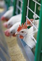 witte kippen foto