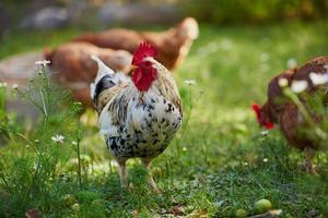 haan of kip op traditionele vrije uitloop pluimveebedrijf foto