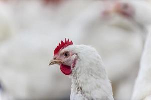 kippen in het kippenhok foto