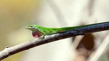 groene anole hagedis zittend (dactyloidae) op een tak foto