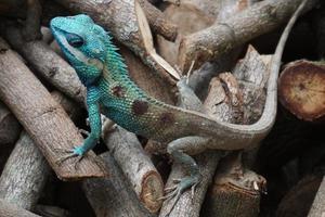 blauwe kuifhagedis foto