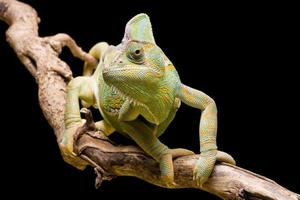 jemen / gesluierde kameleon
