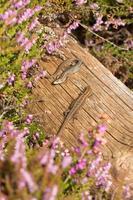 paar levendbarende hagedissen die op een logboek zonnebaden. foto