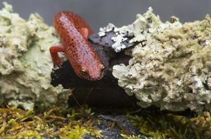 salamander met zwarte lippen kruipt tussen mosvlekken.