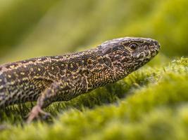 wilde zandhagedis close-up