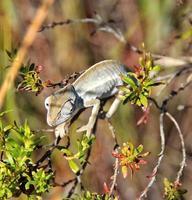 kleine kameleon, Madagaskar foto