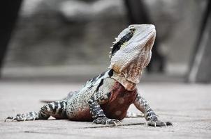 Eastern Water Dragon, Queensland (Australië) foto