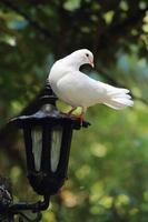 witte duif zitstokken op lantaarn foto