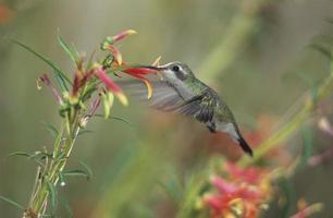 zoemende vogel foto