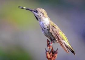 zingende kolibrie op een tak, kleurenafbeelding foto
