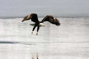 bald eagle inflight haliaeetus leucocephalus utah roofvogel foto