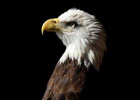 bald eagle profiel foto