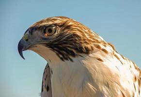 swainson's hawk (buteo swainsoni) foto