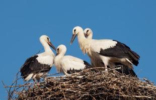 witte ooievaar baby's (ciconia ciconia) in het nest foto
