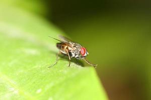 vliegen macro foto