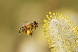 bijen verzamelen stuifmeel foto