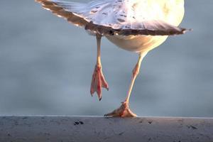 zeemeeuw klaar om te vliegen