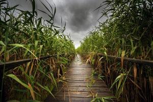houten pad door het riet foto