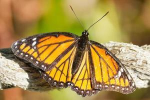 onderkoning vlinder foto